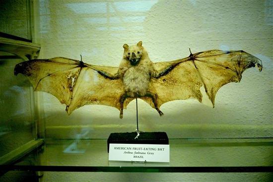 Artibeus fimbriatus (Large)